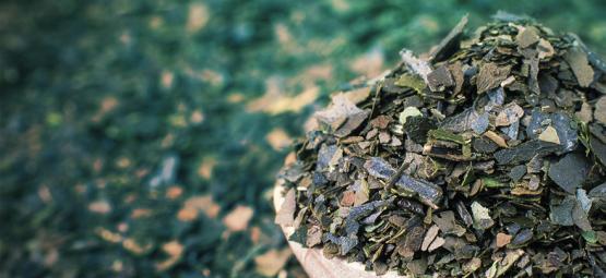Découvrez la Guayusa : l'énergie propre venue des forêts tropicales