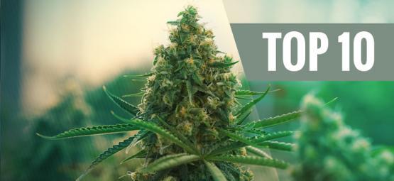 Top 10 Des Meilleures Variétés De Cannabis