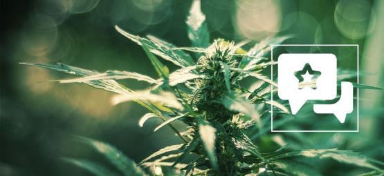 White Russian: Évaluation & Informations De Variété De Cannabis