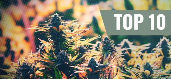 Top 10 Des Variétés De Cannabis Féminisées D'Extérieur