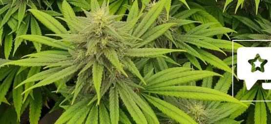 Critique de variété : Pineapple Chunk