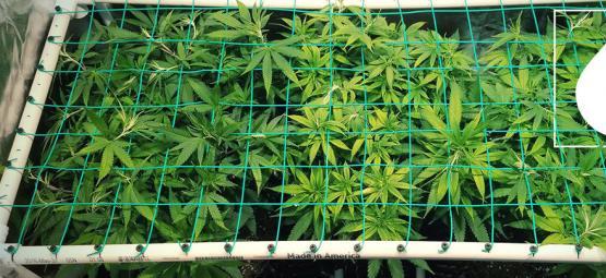 Comment Utiliser L'Aéroponie Pour Cultiver Des Plants Puissants