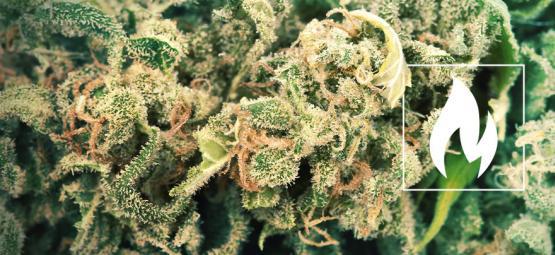 Comment Et Pourquoi Décarboxyler Votre Cannabis?