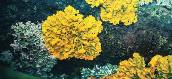 Les lichens hallucinogènes oubliés