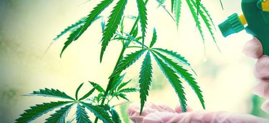 Quand Et Comment Faire Une Pulvérisation Foliaire De Vos Plants De Cannabis