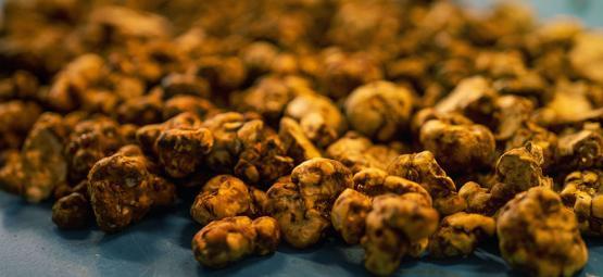Biologie des truffes: pourquoi les champis font-ils des sclérotes?