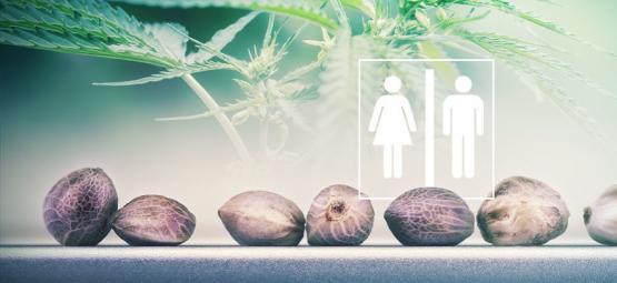 Peut-On Déterminer Le Sexe Des Graines De Cannabis?