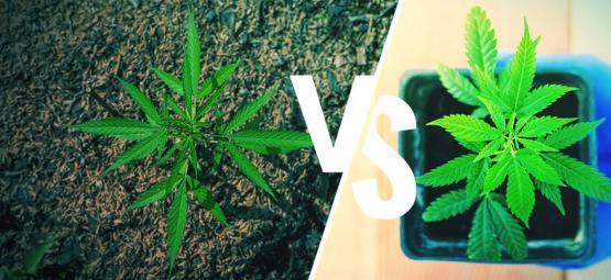 Culture Du Cannabis En Extérieur : En Terre Ou En Pots