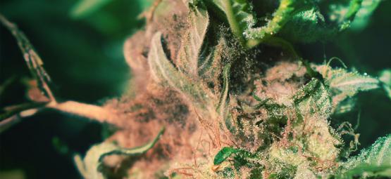 Comment Repérer Et Prévenir La Pourriture Grise Des Têtes Dans La Culture Du Cannabis ?