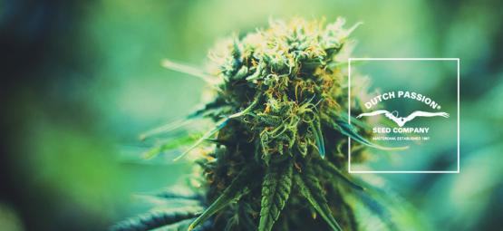 Découvrir Dutch Passion : Un Regard Sur Leurs Variétés De Cannabis Populaires