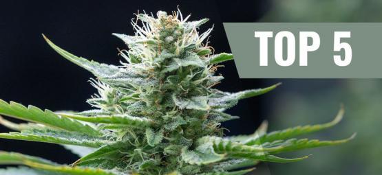 Top 5 Des Variétés De Cannabis Sativa Pour 2020