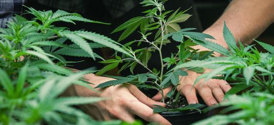 Entretien Jorge Cervantes: Le Père Du Guide De Culture Du Cannabis