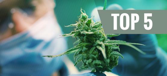 Top 5 Des Variétés De Cannabis À Forte Teneur En CBD