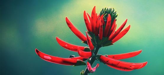 Découvrez Le Mulungu : Un Tranquilisant Naturel Venu De L'Amazone