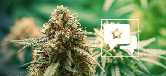Master Kush: Évaluation & Informations De Variété De Cannabis