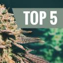 Top 5 Des Variétés De Cannabis Pour Cultivateurs Tardifs