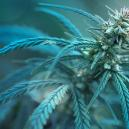 Variété De Cannabis À Moins de 1 % De THC : CBD Fix Auto