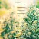 Top 10 Des Plants De Cannabis Compacts