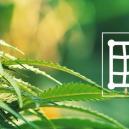 Les Meilleures Variétés De Cannabis À Cultiver En Screen Of Green (ScrOG)
