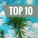 Variétés De Cannabis À Haut Rendement Et Résistantes Aux Moisissures