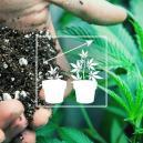 Cultiver du cannabis en extérieur : le meilleur mélange de terre