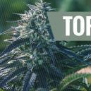 Top 5 des avantages des graines à autofloraison