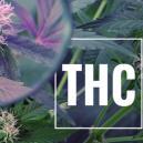 Conseil de culture : augmentez le THC avec la lumière UV