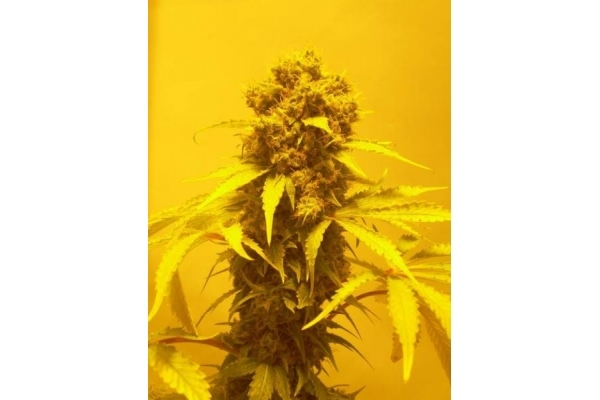 White Widow (Royal Queen Seeds) féminisée