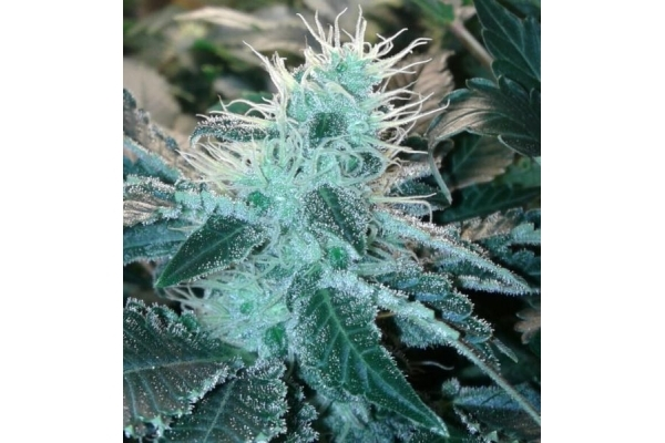 Blue Mistic (Royal Queen Seeds) féminisée
