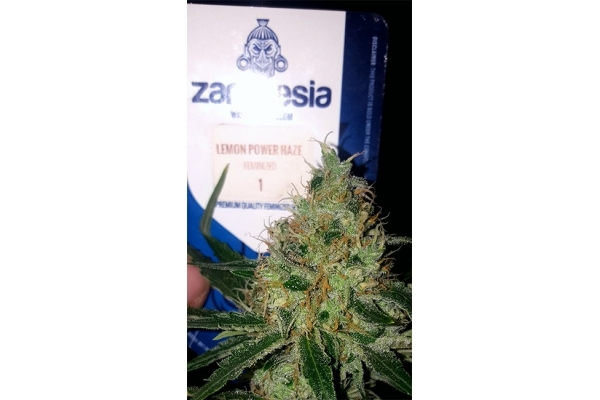 Lemon Power Haze (Zamnesia Seeds) Féminisée